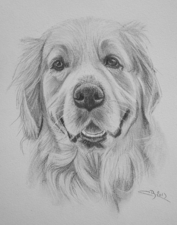 Les crayonn s d animaux artiste animalier - Dessin golden retriever ...