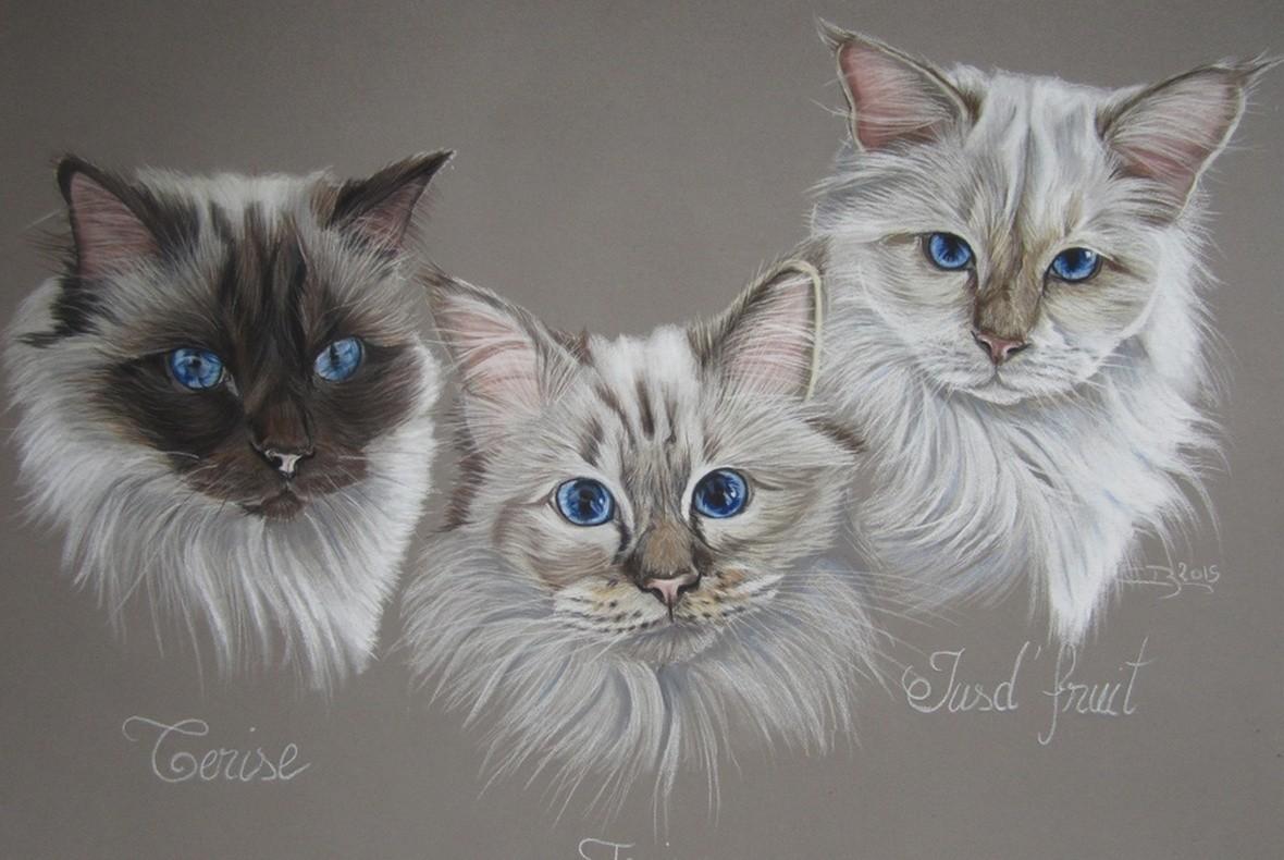 Chats birmans aux pastels secs artiste animalier - Un dessin de chat ...