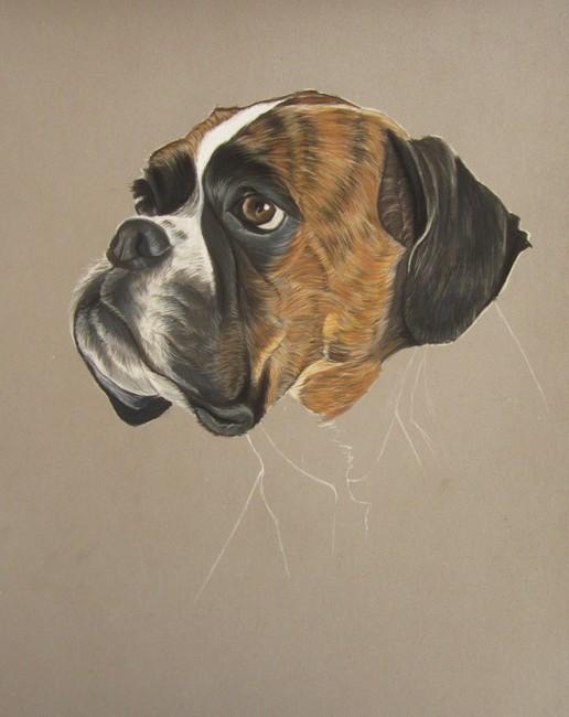 Portrait de boxer aux pastels artiste animalier - Dessin de boxer ...